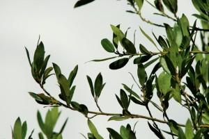 bay-leaf2